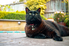 Don 002 (commontropes) Tags: sonya7rii sony a7rii alpha lensbaby 35mm burnside35 burnside cat cats