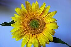 sunflower (majka44) Tags: macro flower yellow sunflower light rain drop nature droplet bue green color fresh