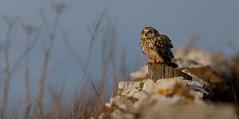 Perched Up (irelaia) Tags: short eared owl wild bird raptor birds prey winter visitor