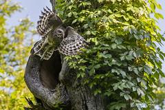 Barred Owl_T3W4371 (Alfred J. Lockwood Photography) Tags: alfredjlockwood nature birdsofprey birdsinflight barredowl takeoff nest virginiacreeper colleyvillenaturecenter spring morning texas wildlife