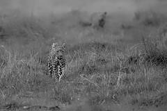 Leopardess (Thomas Retterath) Tags: nature natur 2019 nopeople safari wildlife okavangodelta botswana africa afrika khwai pantherapardus bigfive leopard felidae raubtiere predator carnivore säugetier mammals animals tiere cub monochrome blackwhite bw