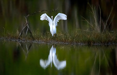 Great egret with reflection taking flight at Ten Thousand Islands National Wildlife Refuge, Naples, Florida (diana_robinson) Tags: greategret ardeaalba bird takingflight reflection sunrisedawn tenthousandislandsnationalwildliferefuge 10000islandnationalwildliferefuge marshtrail mangroveislands mangrovehabitat naplesflorida floridausstate environment environmentalconservation outdoors beautyinnature nopeople remotelocation mangroveforest nature nonurbanscene dramaticsky tree idyllic tranquilscene dawn marsh wildlife wetland waterbird abigfave