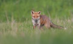 Red Fox (KHR Images) Tags: redfox red fox vulpesvulpes wild mammal grassland cambridgeshire fens wildlife nature nikon d500 kevinrobson khrimages