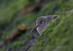 246A4139v2sigPUSA (davidbrandes) Tags: shorebirds sandpiper pusa canon canon5dmkiv canon300mm28 nature birds