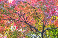 Nature's Palette (johnshlau) Tags: nature'spalette nature palette shinshogokurakujishinnyodotemple shinnyodo 真正極樂寺 真如堂 treeofflowers 花の木 garden autumncolors autumn colors redleaves mapleleaves maple red yellow green leaves trees kyoto japan temple zen buddhist