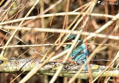 Martin-pêcheur_20 (Jean-Daniel David) Tags: arbre oiseau bois branche ruisseau femelle mujon nature closeup suisse bokeh lac bleu brun verdure grosplan vaud faune suisseromande lacdeneuchâtel yverdonlesbains réservenaturelle grandecariçaie nikon nikond5600 tamronspaf150600mmf563a022 kingfisher martinpêcheur