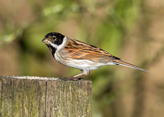 Reed Bunting at Attenborough (Nigel B2010) Tags: reed bunting bird winter january sun wildlife nature countryside east midlands attenborough nottinghamshire reserve colour