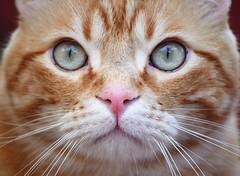 Spritz ♥ (En memoria de Zarpazos, mi valiente y mimoso tigre) Tags: bigeyes greeneyes pinknose cat kitten katze gato gatto micio chat ginger orangetabby closeup facecat nikon portraitcat spritz spritzeddu