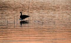 Waiting (Ajsha L.) Tags: lake nature bird goose dawn silhouette
