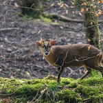 Muntjac Deer in the Forest Of Dean
