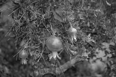 Pomegranate (randyherring) Tags: sanjose ca