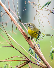 Prairie Warbler (dbking2162) Tags: florida nature nationalgeographic wildlife park birds bird beautiful beauty eyes explore warblers perched