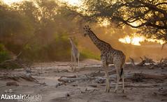 Giraffes at Sunset (Alastair Marsh Photography) Tags: hoanib hoanibriver hoanibvalley skeletoncoast desert sand namibia africa africanwildlife africanmammal africanmammals animal animals animalsintheirlandscape wildlife giraffe giraffes sunlight sun sunshine sunset dusk