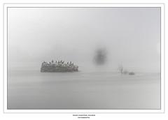La Pilastra (Paco Fuentes Vicario) Tags: zamora mist niebla duero isla pilastra roca ave bird cormoranes cormorán invierno frio cold río españa gris winter bn bw byn