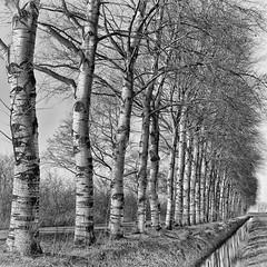 Deelenweg (Henk van Oosten) Tags: bomen trees zwartwit bw friesland z6