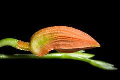 [Costa Rica] Specklinia endotrachys (Rchb.f.) Pridgeon & M.W.Chase, Lindleyana 16: 257 (2001)