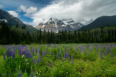 Mt Robson (pDOTeter) Tags: peter peterphotography personen peterluxem lupine lupines mtrobson britishcolumbia meadow mountain nature canada flowers foreground everything