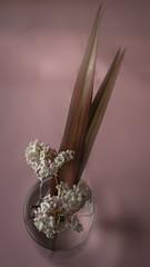delicate~ in Explore (Wendy:) Tags: explored pink viburnum phormium odc viburnumbodnantense stilllife