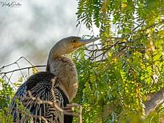 🇺🇸 Anhinga EG 9121 (vickyoutenphoto) Tags: vickyouten anhinga wildlife nature nikon nikond7200 nikkor55300mm evergladesnationalpark florida usa