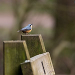 Nuthatch on a bench