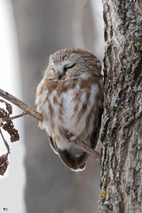 ''Rêver!'' Petite nyctale- Northern saw-whet owl (pascaleforest) Tags: oiseau bird animal passion nikon nature wild wildlife faune québec canada owl arbre wood