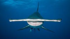 Facing The Hammer (altsaint) Tags: wideangle underwater predator panorama shark panasonic teeth 714mm bahamas gf1 hammerhead hammerheadshark