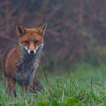 Fox at Hendre Lake, St Mellons, Cardiff