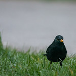 Blackbird at Hendre Lake, St Mellons, Cardiff