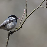 Coal Tit at Forest Of Dean