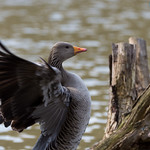 Greylag Goose at the Forest Of Dean