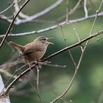Little big voice - A wren singing