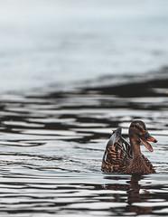 Duckface (jpuuskaphotography) Tags: duck nature naturephotography nikkor200500 nikon suomi finland wildlife wildlifephotography bird animal animalphotography birdphotography