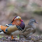 Mandarin Duck at the Forest Of Dean