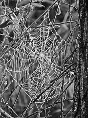 ArAñA (MaRuXa fotografía) Tags: teladearaña arboles rio frio congelado niene araña paseo canon maruxa calatayud aragon animal naturaleza fauna flora