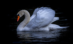 Schwan (Maik Kregel) Tags: maikkregel canon 600d swan blackwater reflektion