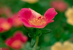 rain warped petals (Lr Home) Tags: flower macro a6000 sel30m35