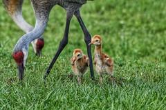 Family Picnic (JRWhitaker1) Tags: celeryfields sarasota florida babies chicks floridasandhillcrane crane bird