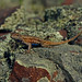 Prairie Lizard (Sceloporus consobrinus)