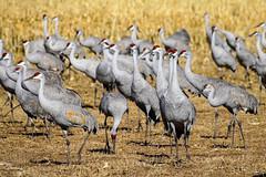 Sandhill Cranes - Bosque Del Apache (Bernie Duhamel) Tags: sandhillcranes migration sanantonio newmexico bosquedelapache bird birds wildlife greatphotographers teamsony sonya9 sonyfe100400mm bernie duhamel