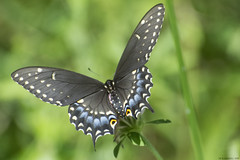 Butterfly 2019-195 (michaelramsdell1967) Tags: butterfly butterflies nature macro animal animals insect insects green black blue bokeh beautiful beauty lovely pretty upclose closeup vivid vibrant detail delicate meadow bug bugs wings wildlife swallowtail garden fragile zen