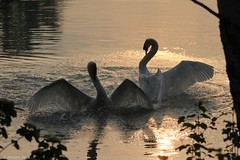 Schwäne (holdinghausenm) Tags: swans cygne lake see lago lac wildlife birdslife wild animals birds vögel oiseau uccello natur nature light mood moody photopassion unlimitedphotos tierfoto animalphoto naturephotography schwäne goldenhour goldenestunde naturphoto naturfoto national coth coth5