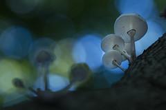 Porcelain Fungi (Daniel Trim) Tags: oudemansiella mucida porcelain fungus fungi mushroom toadstool autumn hitch wood hertfordshire nature wildlife woodland woods beech