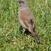 Swainson's Sparrow Passer swainsonii
