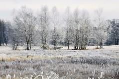 Frosty morning (radimersky) Tags: hoarfrost przymrozek krajobraz landscape drzewa trees brzoza white biel brich łąka nature przyroda meadow moody january styczeń zima winter polska poland europa europe silesia śląsk mobilephotography huaweip30pro p30pro vogl29 frosty poranek morning freeze