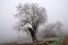 L'arbre givré (Nathery Reflets) Tags: alsace 67 basrhin rosenwiller arbre saison hiver givre brouillard grandest landschaft natur nebel campagne nature paysage fog frost winter france