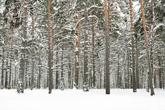 Winter (man_from_siberia) Tags: siberia russia сибирь россия 2019 зима декабрь winter december canon eos 5d dslr canoneos5d canon5d canon5dclassic fullframe canonef40mmf28stm pancakelens primelens trees forest pineforest pines сосны сосновыйбор лес snow снег