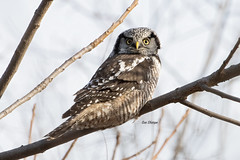 Northern Hawk Owl (Surnia ulula) (stitchersue) Tags: northernhawkowl hawkowl owl hawk rare rarebird migrate winter hunting ontario canada