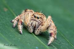 Hyllus sp. Jumping Spider (F.Hendre) Tags: jumpingspider spider hyllus arachnid malaysianspider macro