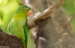 Tovisittich / Orange-chinned Parakeet (Fotännie) Tags: 2019 animalplanet bird brotogerisjugularis colombia colombia2019 eigentlichepapageien karibik kolumbien kolumbien2019 neuweltpapageien orangechinnedparakeet palomino papageien schmalschnabelsittiche sommer2019 tovisittich vogel