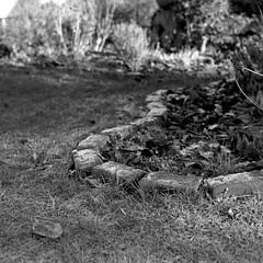 in the garden (salparadise666) Tags: zeiss super ikonta b 53216 opton tessar 80mm fomapan 100 boxspeed caffenol cl 30min nils volkmer vintage folding medium format camera square 6x6 bw monochrome film landscape detail